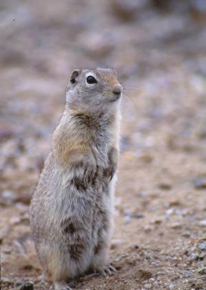 - Nature image marmot -