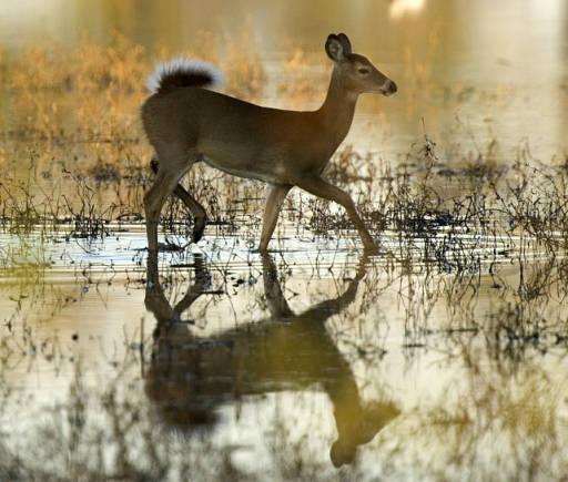 - Image Deer -