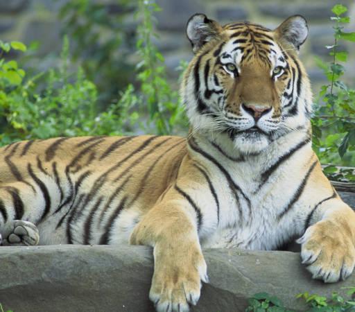 - Image tiger -
