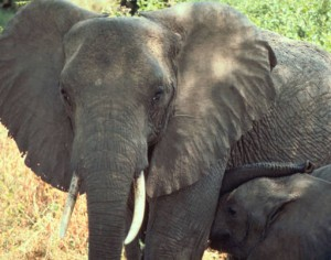 - Elephant image -
